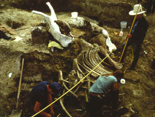 Excavation of mammoth bones in pile 2 on the Colby site.
