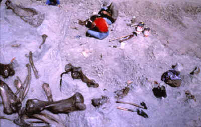 Excavation area showing large mammoth bones.